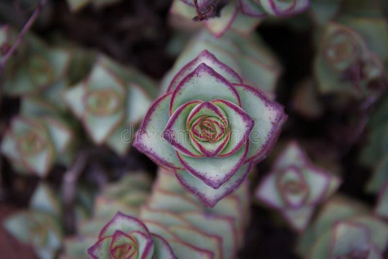 Close-up regional lindo de uma corda dos botões - ou do Crassula Perforata fotos de stock