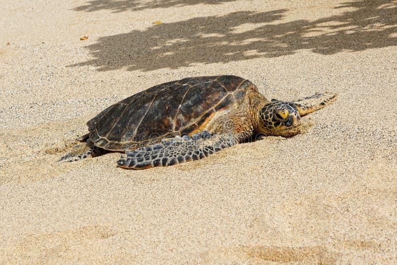 Marine turtle on the beach of Hawaii stock photography