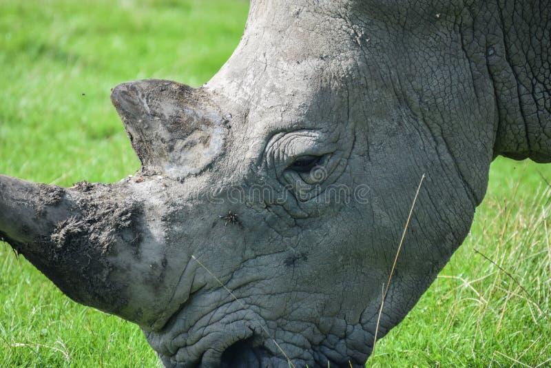 Rhino Grazing stock photos