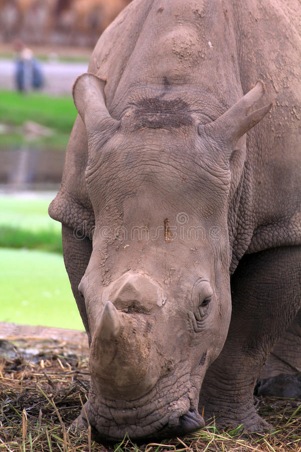 Download Close up  Rhinoceros stock image. Image of horned, feeding - 26447011