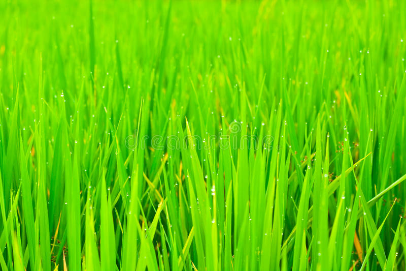 Close Up Rice Fields Stock Photos