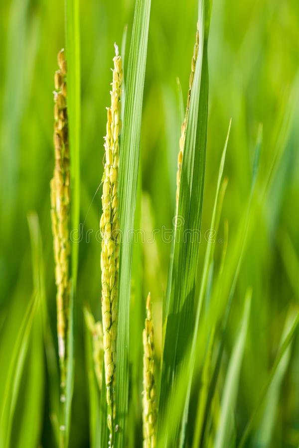 Close up of rice grains in paddy field. Raw rice grains in paddy field with natural sunlight royalty free stock image