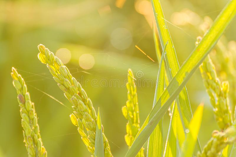 Close up of rice paddy rice field stock images