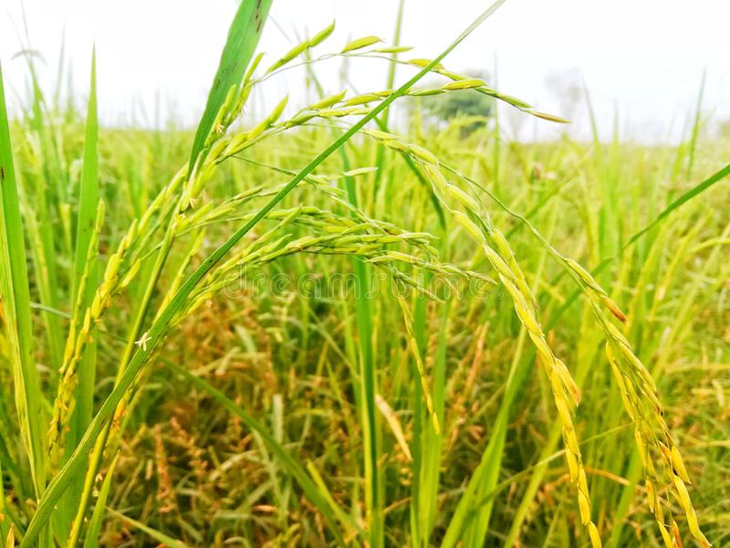 Close up of Rice Stalk in Green and golden Yellow stock photo