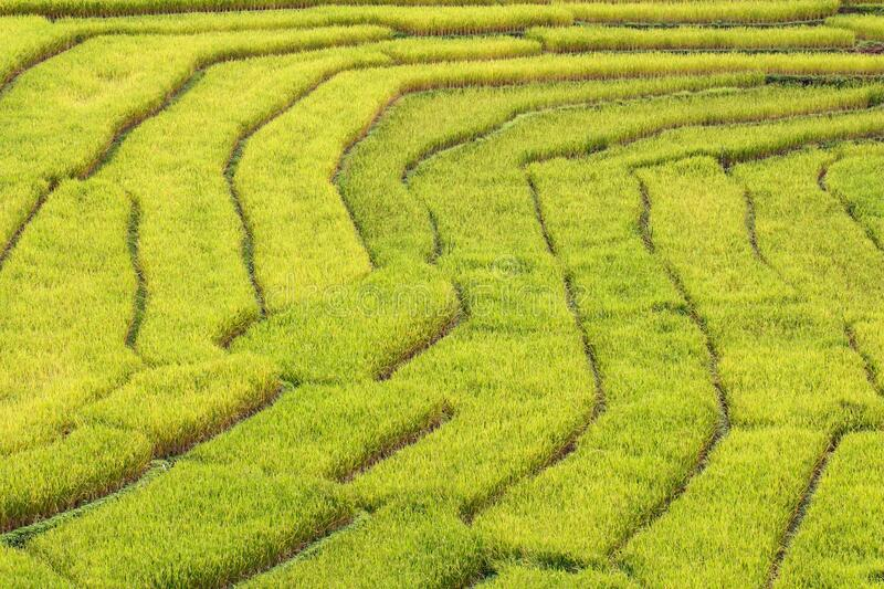 Close-up of rice terrace in northern Thailand. royalty free stock images