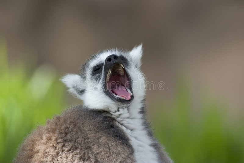 Download Close Up Of A Ring Tailed Lemur Stock Image - Image of close, ring: 162509
