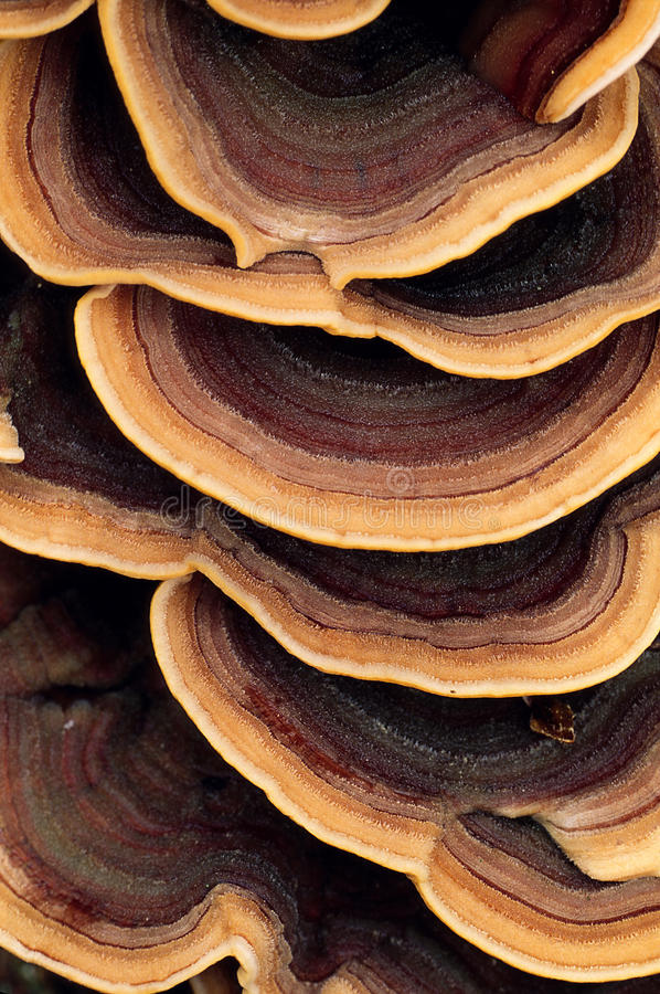 Download Close Up Of Ringed Polypore Fungus Stock Image - Image: 28085613