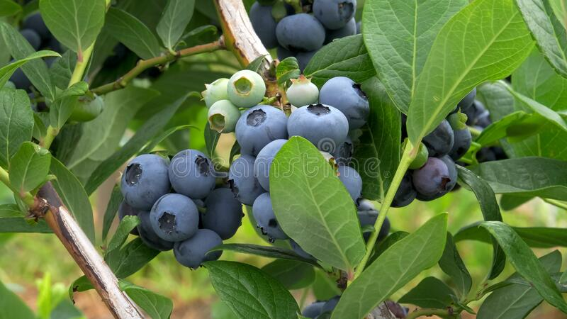 Close up of ripe blueberries at bellingham washington state. Close up of ripe blueberries at a farm near bellingham wa in the us pacific northwest royalty free stock photos