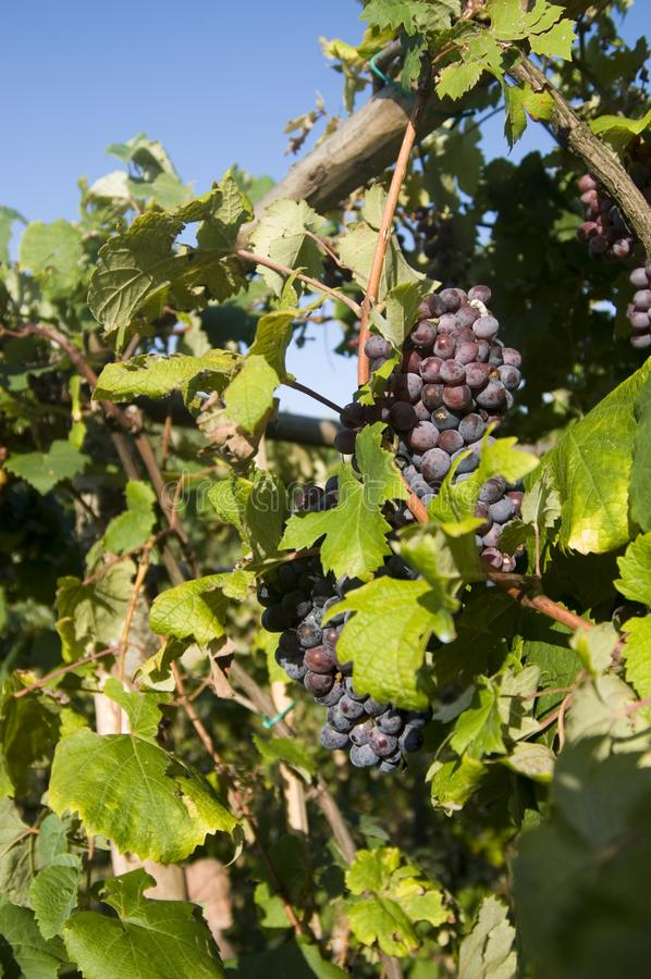 Close-up of ripe bunches of black purple grapes on the grape vine in a vineyard in Italy. Ripe bunches of black purple grapes on the grape vine in a vineyard in stock photo