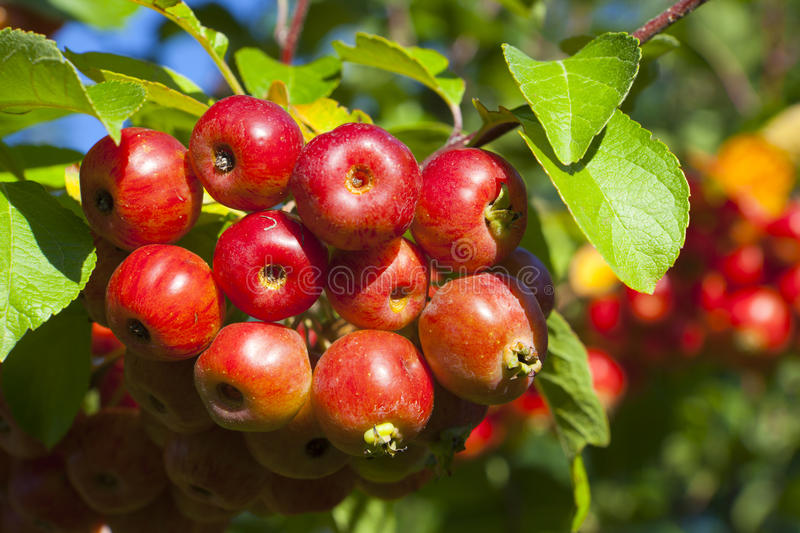 Close-up of ripe crab apples royalty free stock photos