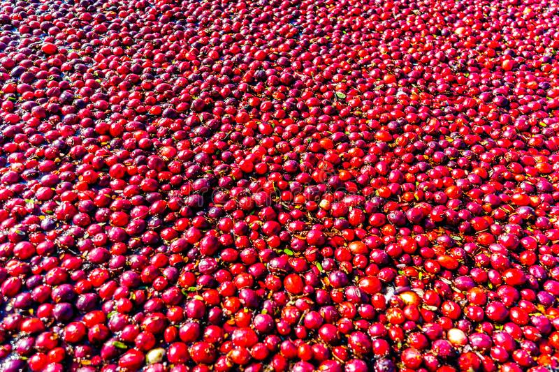 Close up of Ripe Cranberries floating in the lagoon during harvest. In the Glen Valley area of the Fraser Valley in Southern British Columbia, Canada royalty free stock images