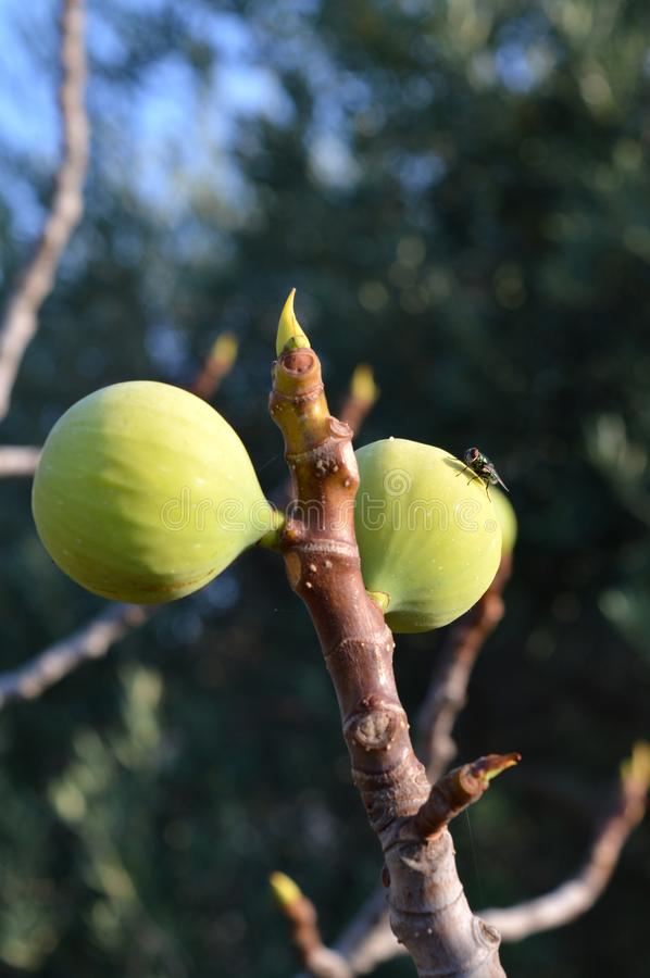 Close-up of Ripe Fig Fruits, Sicily, Italy, Nature, Macro. Natural Background stock images