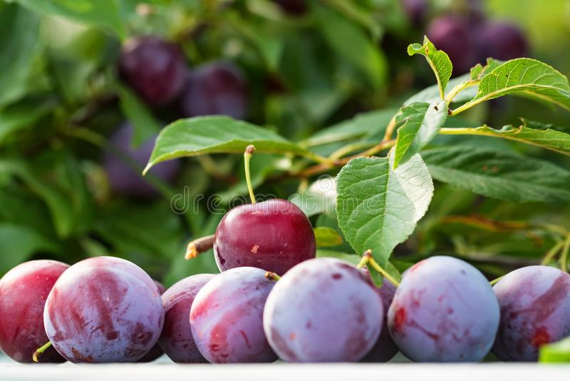 Ripe cherry plums and tree branch close stock image