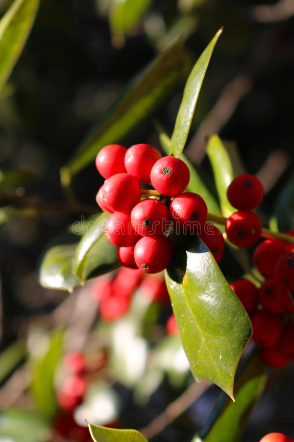 A Close Up of Ripe Holly Berries. Holly berries in a patch of sunlight royalty free stock photography