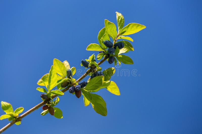 Honeysuckle branch with blue ripe berries royalty free stock photos