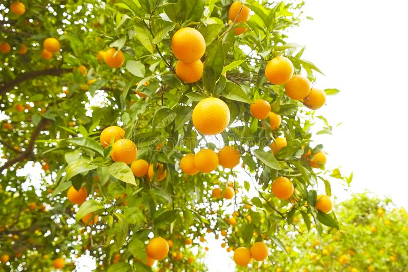 Close up of multiple organic ripe perfect orange fruits hanging on tree branches in local produce farmers garden, sunshine beams. royalty free stock photo