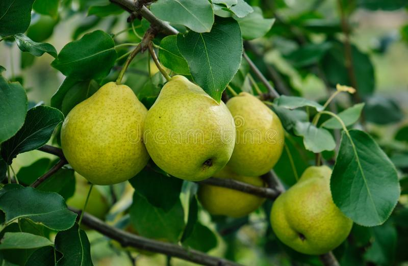 Close up of ripe organic pears in the garden royalty free stock photo