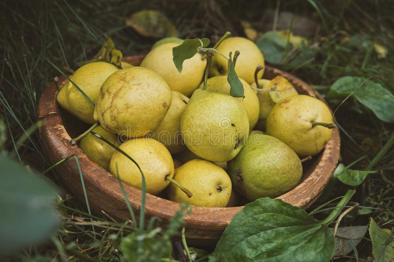 Close up of ripe organic pears in the garden stock images