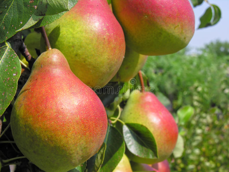 Download Close-up of ripe pears stock image. Image of harvest - 29030343