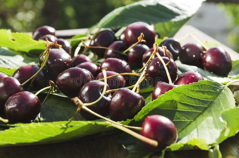 Close up of ripe red cherries on the green leaves. Fresh harvest of cherry stock photography