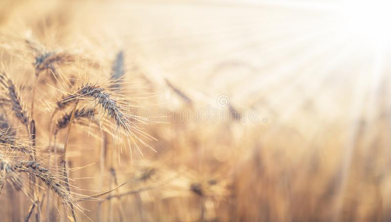 Close-up ripe wheat cobs at sunset stock photo
