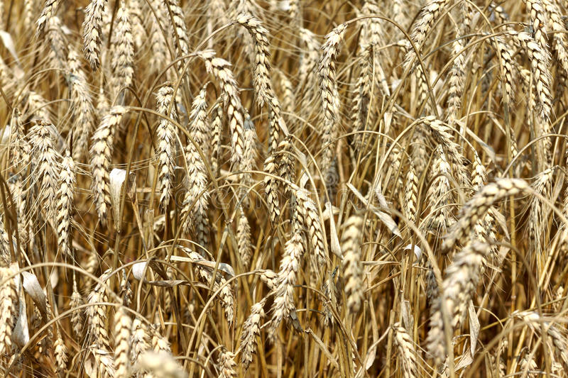 Close up of ripe wheat ears. Ears of golden wheat closeup in sunny summer day - abstract background royalty free stock photography