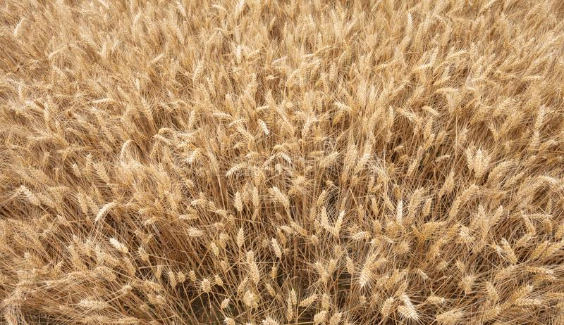 Close up on ripe wheat ears on reaping time stock image