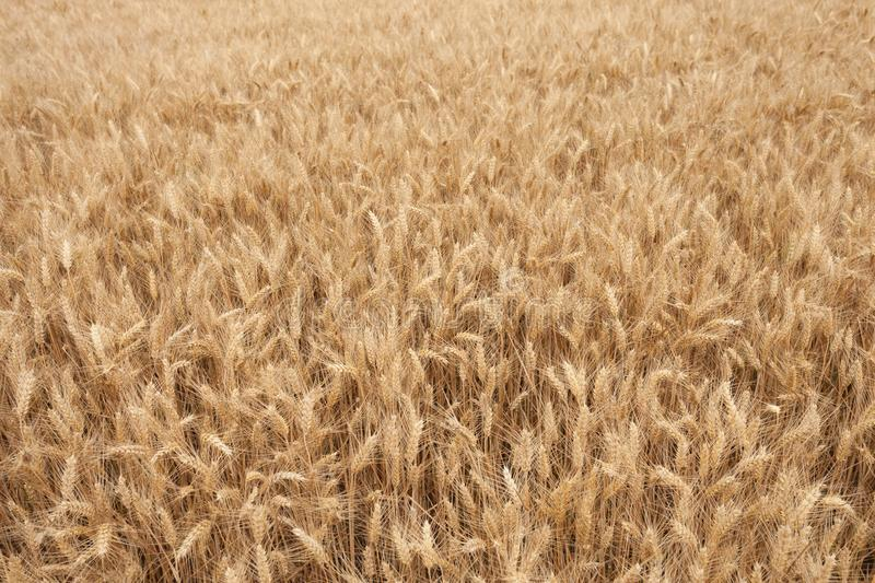 Close up on ripe wheat ears on reaping time in middle June stock photography