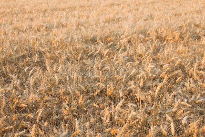 Close up on ripe wheat ears on reaping time in middle June royalty free stock photos