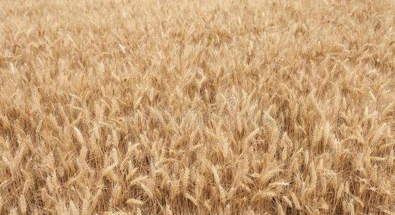 Close up on ripe wheat ears on reaping time in middle June stock photo