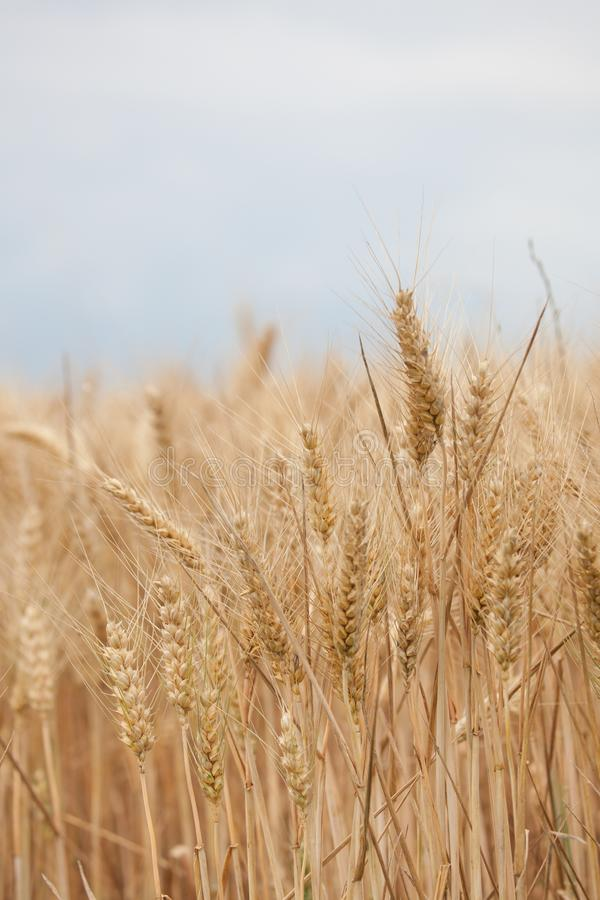 Close up on ripe wheat ears on reaping time in middle June royalty free stock images