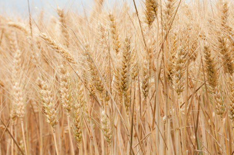 Close up on ripe wheat ears on reaping time in middle June stock photos