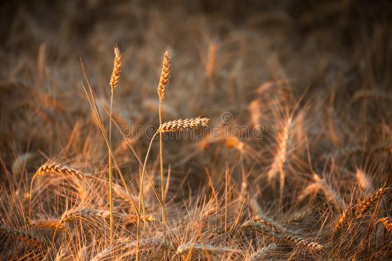 Close up on ripe wheat ears on reaping time during a middle June. Sunset royalty free stock image