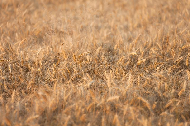 Close up on ripe wheat ears on reaping time during a middle June. Sunset royalty free stock photo