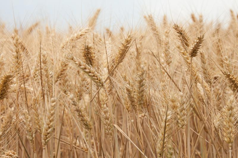 Close up on ripe wheat ears on reaping time in middle June royalty free stock image