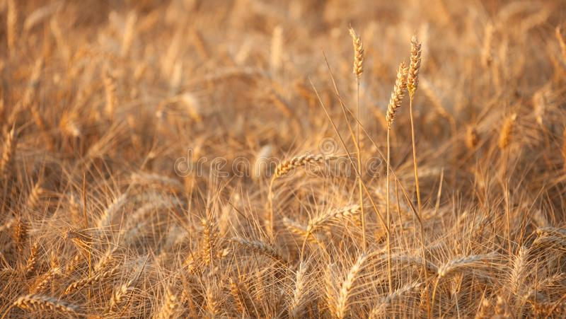 Close up on ripe wheat ears on reaping time during a middle June. Sunset stock image
