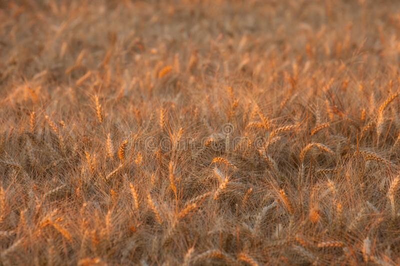 Close up on ripe wheat ears on reaping time during a middle June. Sunset stock photography