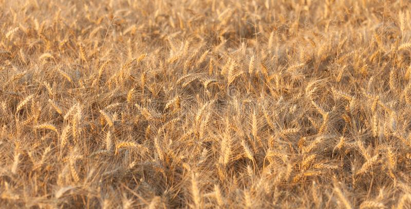 Close up on ripe wheat ears on reaping time during a middle June. Sunset royalty free stock photos