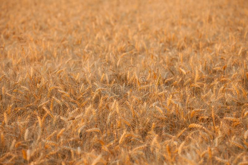 Close up on ripe wheat ears on reaping time during a middle June. Sunset stock images
