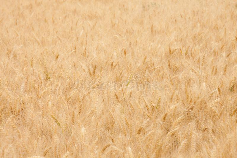 Close up on ripe wheat ears on reaping time during a windy middle June day stock image