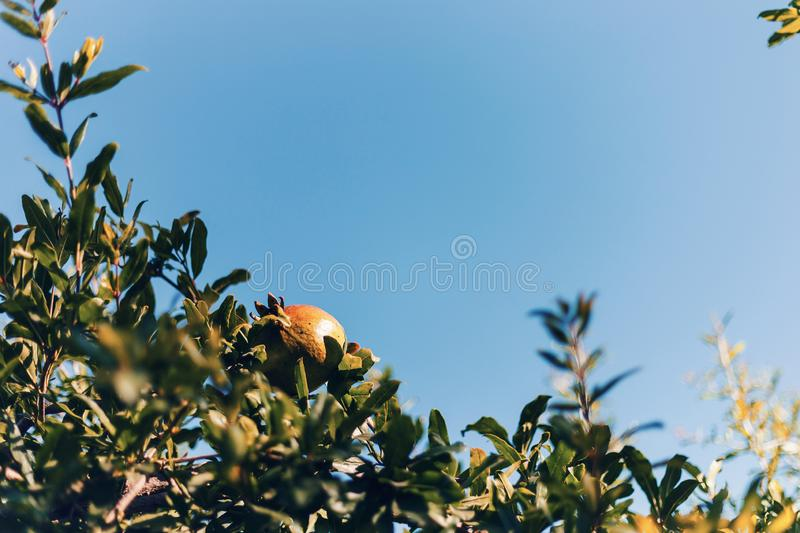 Close-up of a ripe yellow pomegranate among the lush green foliage against the blue sky. Summer concepts. Beautiful nature backgro stock images