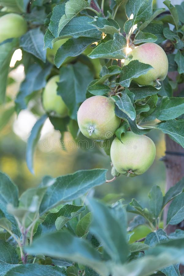 Ripening green apples on tree in springtime orchard at sunset royalty free stock image