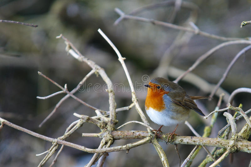 Close up of Robin erithacus rubecula royalty free stock images