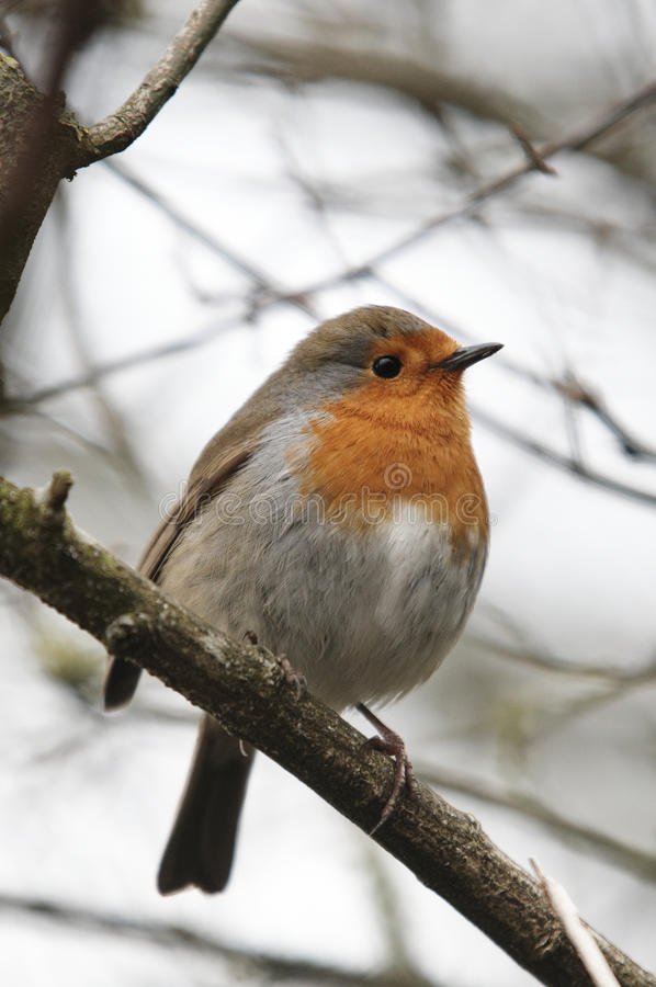 Download Close-up Of A Robin, Erithacus Rubecula, Royalty Free Stock Image - Image: 18384546