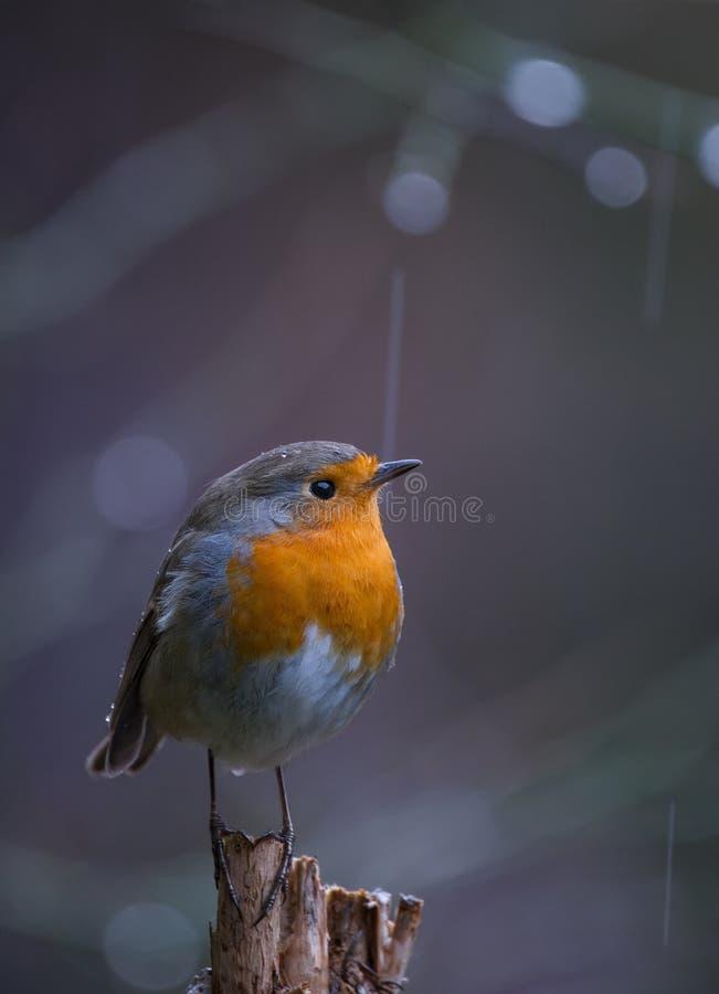 Robin Erithacus rubecula under the rain royalty free stock photography