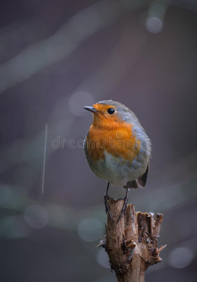 Robin Erithacus rubecula under the rain royalty free stock images