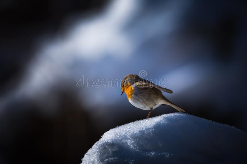 Robin Erithacus rubecula in the blue stock photography
