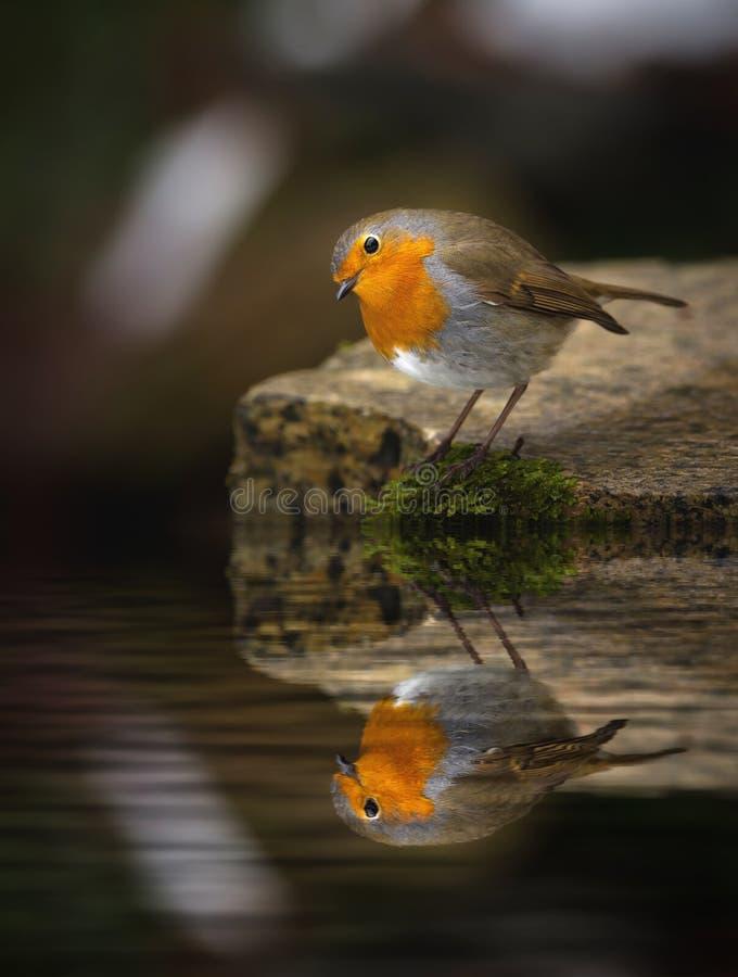 Robin Erithacus rubecula reflection royalty free stock photos