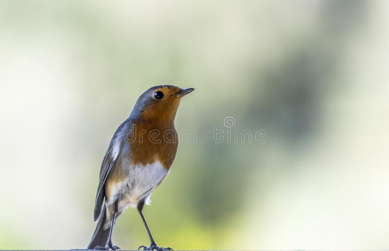 Close up of a robin in nature.Isolated ,copy-space. .Amazing Greece royalty free stock photos