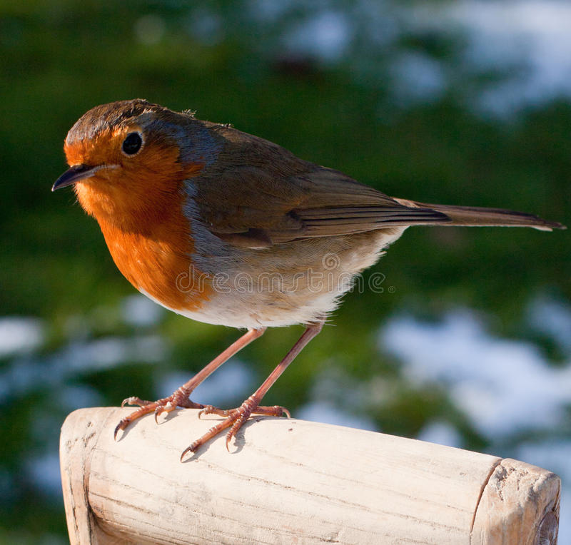 Close up of Robin perched on Spade Handle in Snow